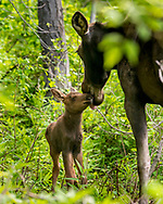 Moose and calf in Pinebrook neighborhood of Park City, Utah.