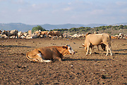 Israel, Mount Carmel, free grazing cattle