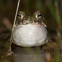 European green toad (Bufo viridis), gr&ouml;nfl&auml;ckig padda.<br /> Location: Eskilstorps &auml;ngar, Sk&aring;ne, Sweden