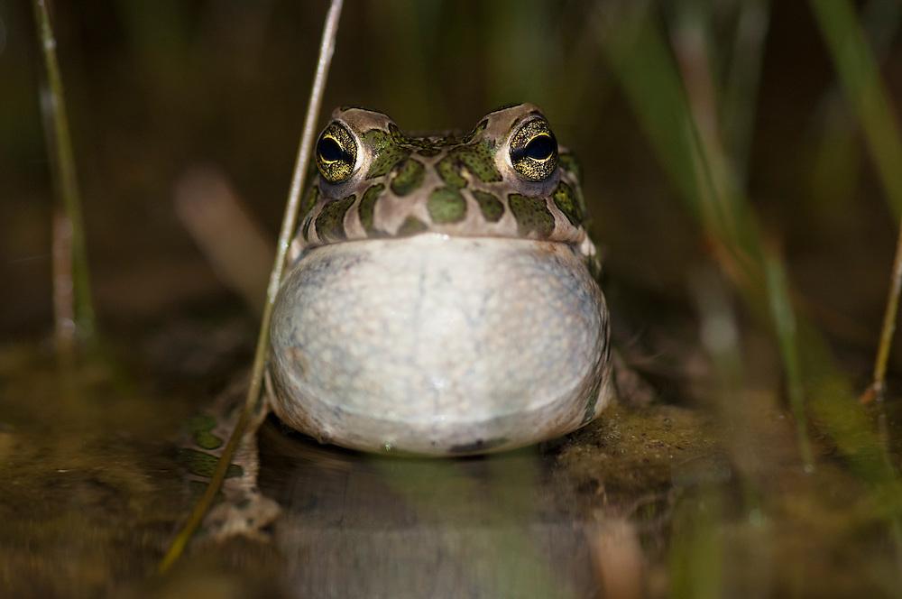 European green toad (Bufo viridis), grönfläckig padda.<br /> Location: Eskilstorps ängar, Skåne, Sweden