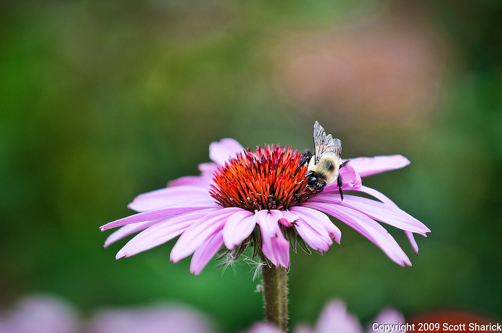 A bee walks around a purple flower. Missoula Photographer