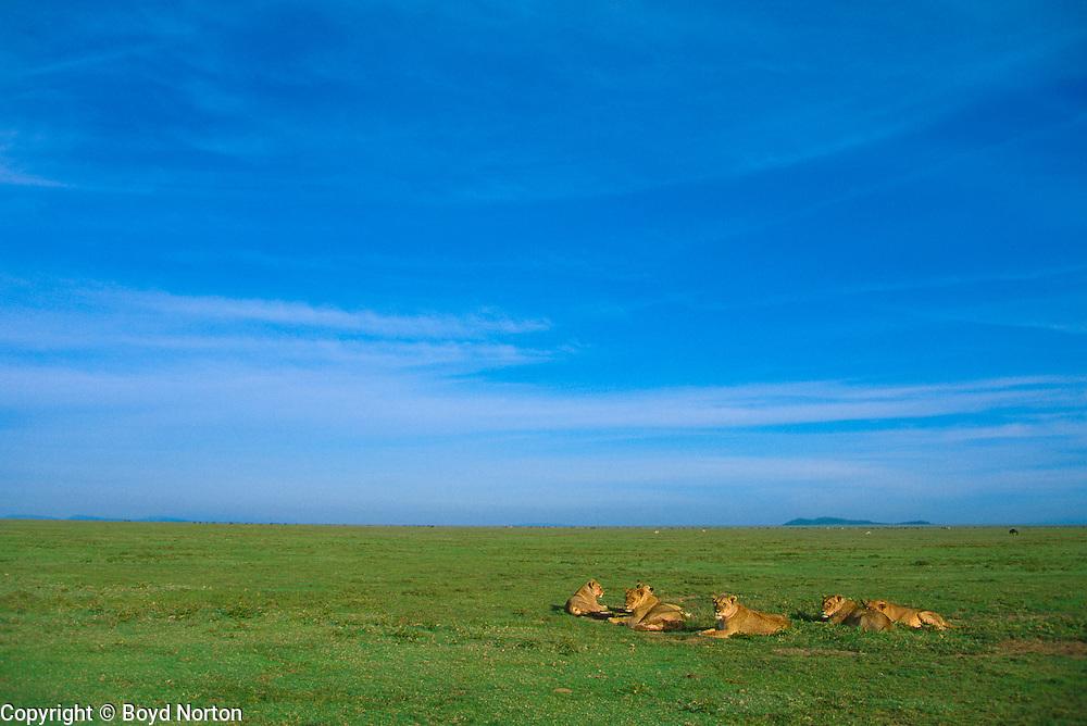 Lion pride in the shortgrass plains of Serengeti