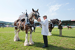 © Licensed to London News Pictures. 25/07/2019. Llanelwedd, Powys, UK. Shire Horse judging takes place in the main ring on the last day of the 100th Royal Welsh Agricultural Show. Founded in 1904, the Royal Welsh Agricultural Show is hailed as the largest and most prestigious event of its kind in Europe, with in excess of 200,000 visitors usually expected for the annual four day show period. Photo credit: Graham M. Lawrence/LNP