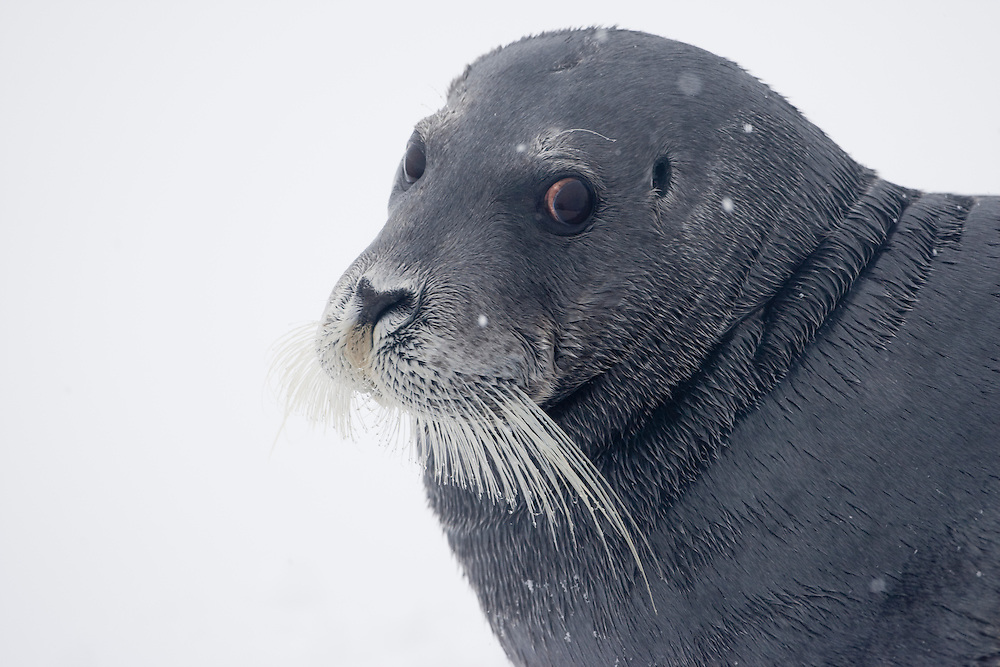 Norway, Svalbard, Spitsbergen Island, Bearded Seal (Erignathus barbatus) on ice along Hinlopen Strait during summer snow storm