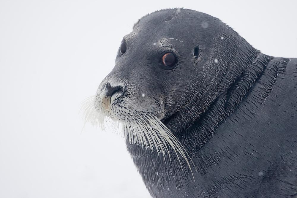 Norway, Svalbard, Spitsbergen Island, Bearded Seal (Erignathus barbatus) on ice along Hinlopen Strait during summer snow storm