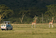 Safari minibus near giraffes, Lake Nakuru National Park, Kenya