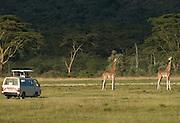 Safari minibus near giraffes, Lake Nakuru National Park, Kenya