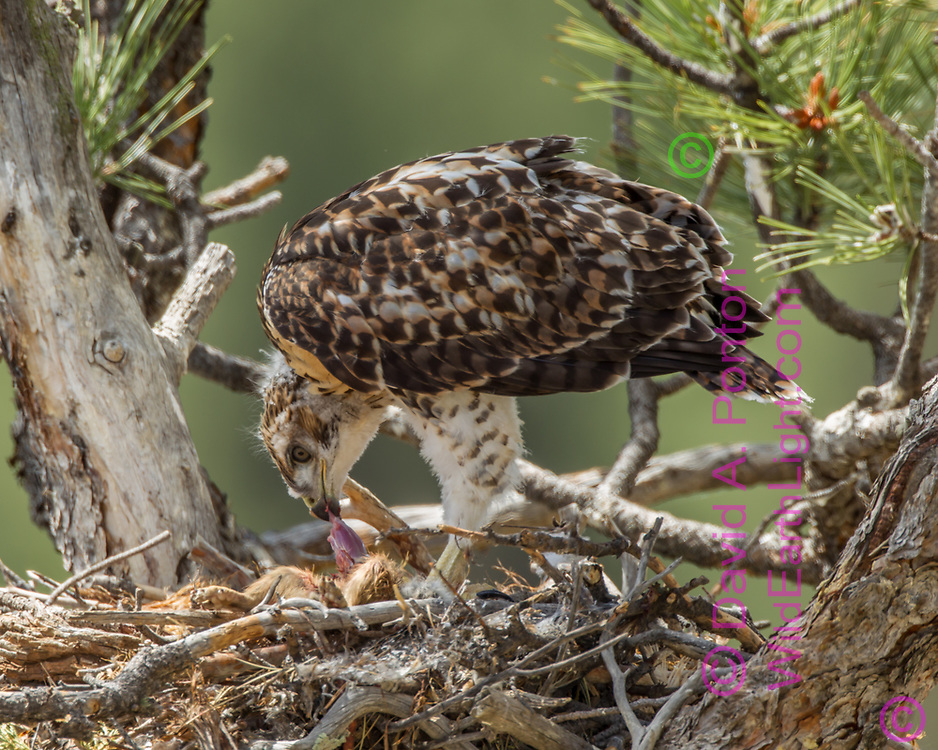 Nestling red-tailed hawk eating fresh prairie dog carcass on nest in ponderosa pine tree, © 2011 David A. Ponton [Prints to 8x10, 16x20, 20x24 or 24x36 in. with no cropping]