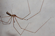 De grote trilspin (Pholcus phalangioides) (ook wel hooiwagenspin genoemd) is een spinnensoort uit de familie der trilspinnen (Pholcidae). De grote trilspin komt wereldwijd voor en is waarschijnlijk één van de meest voorkomende spinnen in huizen in België en Nederland...Meestal zit de grote trilspin aan de randen van het plafond waar zij een onregelmatig web maakt van een paar draden. Wanneer een insect of een andere spin verstrikt raakt in het web gooit de trilspin nieuwe draden over haar prooi en snoert deze vervolgens in. Dankzij haar lange poten kan zij dit vanaf een afstand doen. Zodra de prooi machteloos is, komt de trilspin dichterbij en eet zij de prooi op. De spin wordt 7 tot 10 mm groot (poten niet inbegrepen).  Bron: Wikipedia.