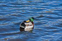 Mallard Duck (Anas platyrhynchos)  male preening in a lake.  Male:  Iridescent green head; yellow bill; chestnut breast.