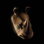 October 4, 2012 - Brooklyn, NY : The face of a rhinoceros appears as it is lit behind a scrim during a technical rehearsal of the Théâtre de la Ville's production of French-Romanian playwright Eugène Ionesco's 1959 play 'Rhinocéros' at BAM in Brooklyn on Thursday afternoon. The traveling production will perform from Oct. 4-6, 2012. CREDIT: Karsten Moran for The New York Times