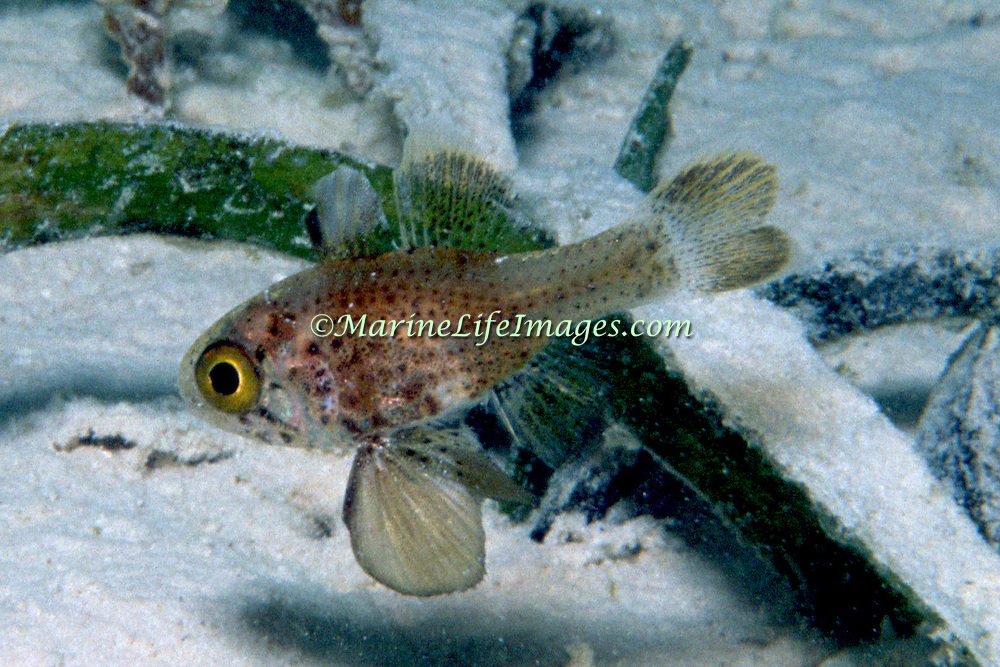 Blackfin Cardinalfish inhabit sea grass beds and surrounding areas of sand and rubble in shallow clear water in Tropical West Atlantic; picture taken Venzuela.
