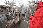 Villagers milk goats in a Maasai village compound during drought conditions, yielding very little milk, near Narok, Kenya. Maasai wealth is derived from the ownership of cattle, land and the number of children born to support the family business to look after cattle and goats.