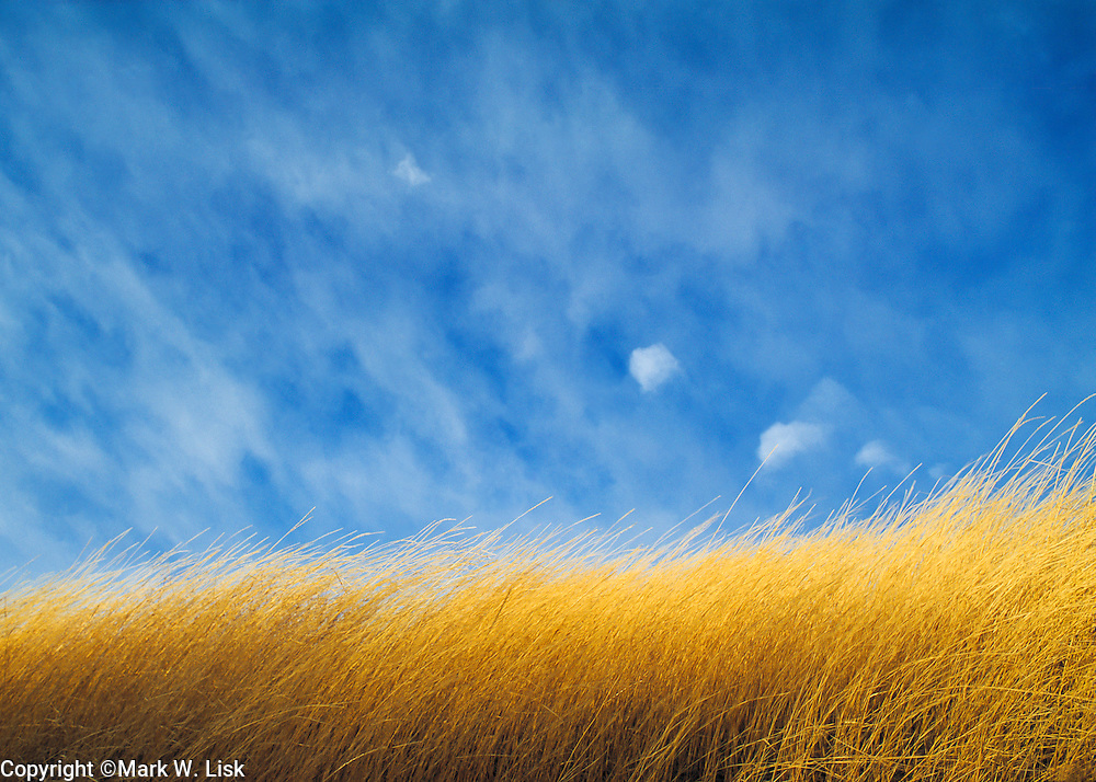 Long golden grasses contrast the deep blue sky in north Idaho's palouse country.