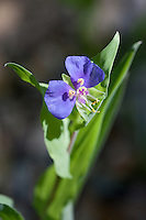 False Dayflower (Tinantia anomala), Medina County, Texas