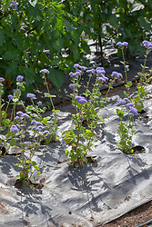Mypex matting used to protect plants and suppress weeds. Ageratum houstonianum 'Blue Horizon'