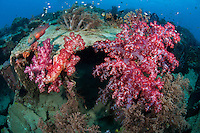 Linecheeked Wrasse and Vibrant Soft Coral growth on the rusted out hull of an Allied WWII landing craft.<br /> <br /> Shot in Indonesia