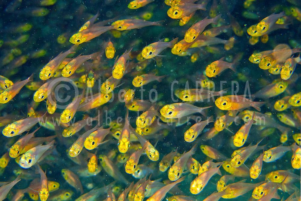 Alberto Carrera, Pygmy Sweeper, Parapriacanthus ransonneti, Felidhe Atoll, Maldives, Indian Ocean, Asia