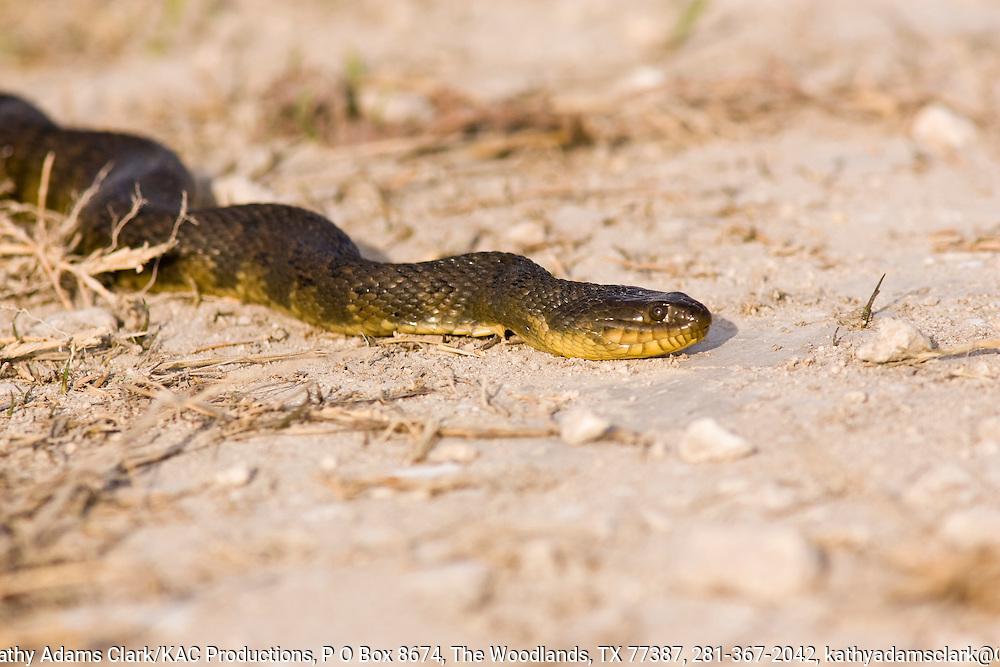 Eastern Cottonmouth, Agkistrodon piscivorus, on the ground, Anahuac National Wildlife Refuge, Texas.