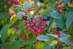 The berries of Malus 'Indian Magic' - crab apple