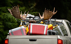 The back of a pickup truck shows signs of a successful moose hunt during moose hunting season. The truck was photographed near Haines, Alaska.