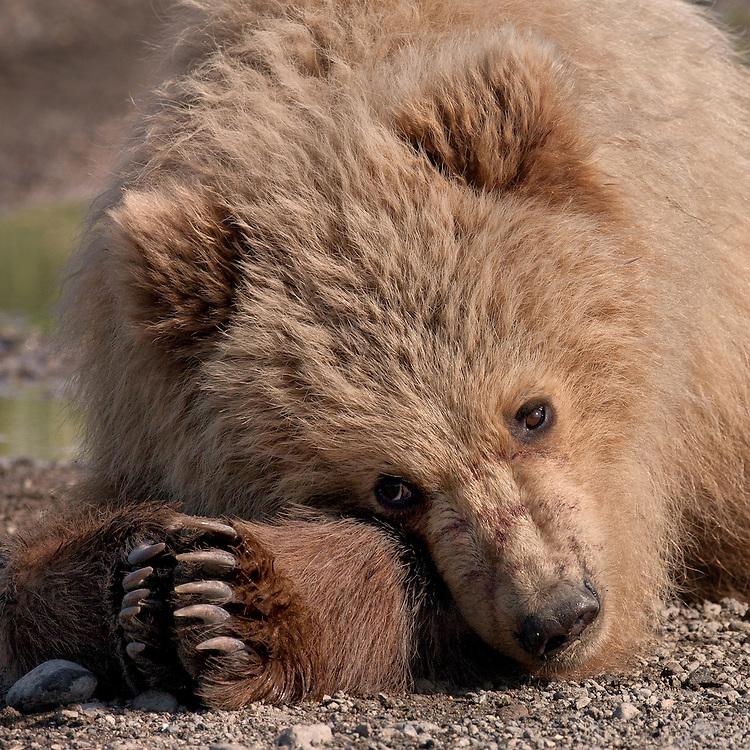 Coastal Brown Bear (Ursus arctos) cub taking a rest. Lake Clark National Park, Silver Salmon Creek, Alaska.