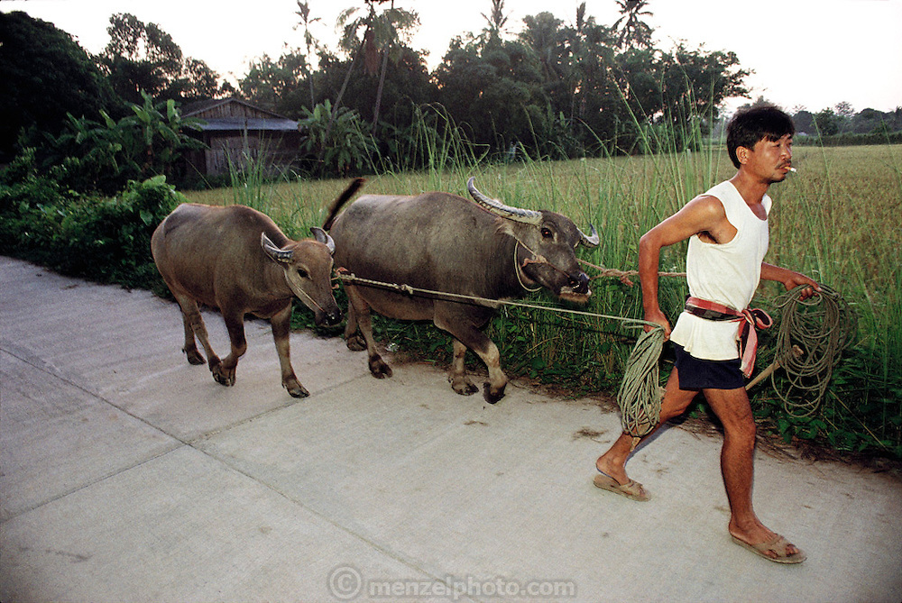 Buaphet Khuenkaew's brother Vichai Sadub (called Dang) leads his water buffalo to the rice fields where they will be staked out to graze (the rice has been harvested already) near Ban Muang Wa village, outside the northern town of Chiang Mai, in Thailand. He grows rice for personal use, and to sell for income. He and his extended family live within a stone's throw of each other. Material World Project.
