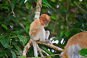 Baby proboscis monkey (Nasalis larvatus) sitting on a branch in the Kinabatangan Wildlife Sanctuary. Babies stay with their mothers until they are about a year old, and male young remain with the troop they were born into until they are about 18 months old. Proboscis monkeys are endemic to the island of Borneo, and are endangered due to habitat loss. They cannot be kept in captivity.