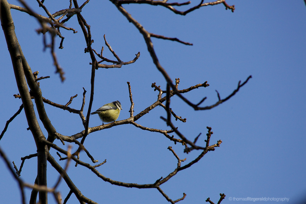 A small yellow tit perches in a tree against a blue background
