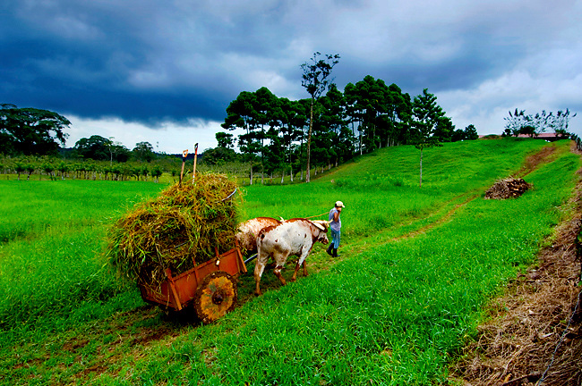 Farmer And His Oxen Cart Hay Up To The Farm In Costa Rica.