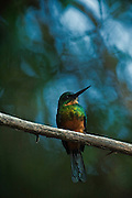 Green-tailed Jacamar (Galbula galbula)<br /> Karanambu Lodge<br /> Rupununi<br /> GUYANA<br /> South America<br /> RANGE: Native to Brazil, Colombia, French Guiana, Guyana, Suriname, and Venezuela.
