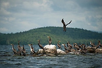 "A Cormorant takes flight off ""The Witches"" on Lake Winnipesaukee.  (Karen Bobotas/for the Laconia Daily Sun)"