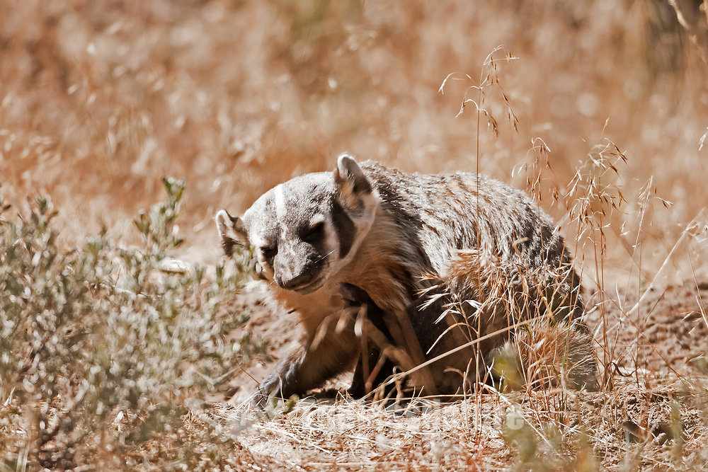 An American Badger stopping to itch after digging around the bases of the pine tree's in western Wyoming he looks alot like an old man!