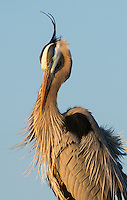 a great blue heron bows his head in the golden light of a setting sun behind the rookery