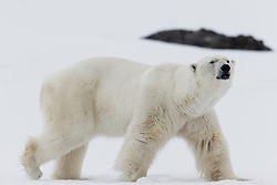 A male polar bear (Ursus maritimus) walking in a snowy white landscape, Svalbard, Norway, Arctic