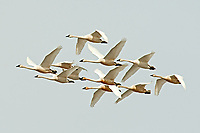 A group of Tundra Swans flies together in northern Utah the rust color on the birds is iron stain from northern waters.