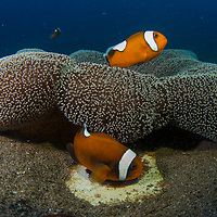 A family of Saddleback Anemonefish, Amphiprion polymnus, Dauin, Dumaguete, Negros Island Region, Philippines.
