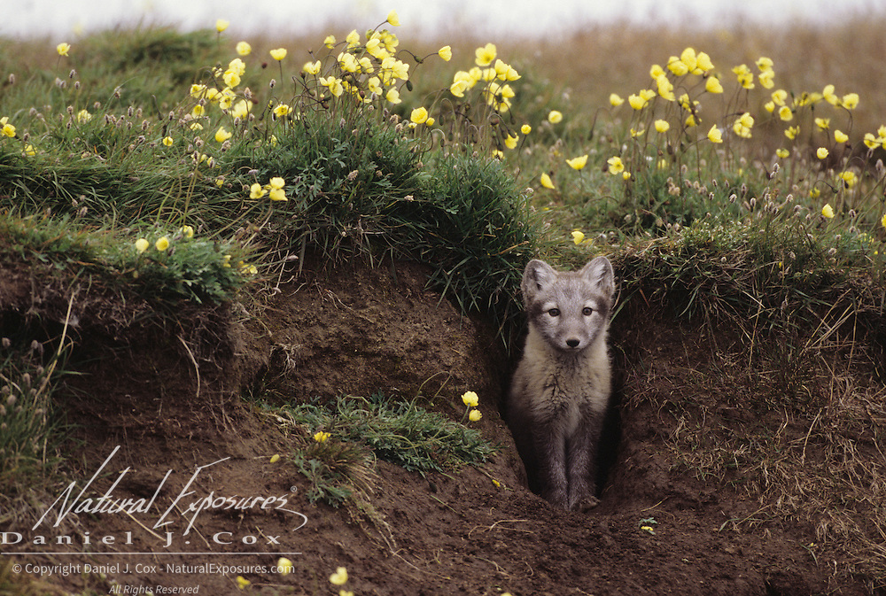 Arctic Fox at the entrance of a den in the Arctic National Wildlife Refuge in Alaska.