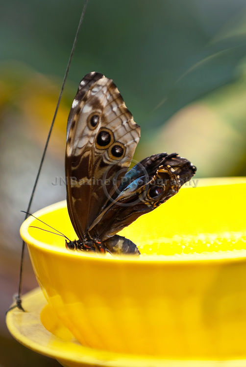 The Blue Morpho Butterfly drinks the juices from rotting fruits for food which this bowl contains.