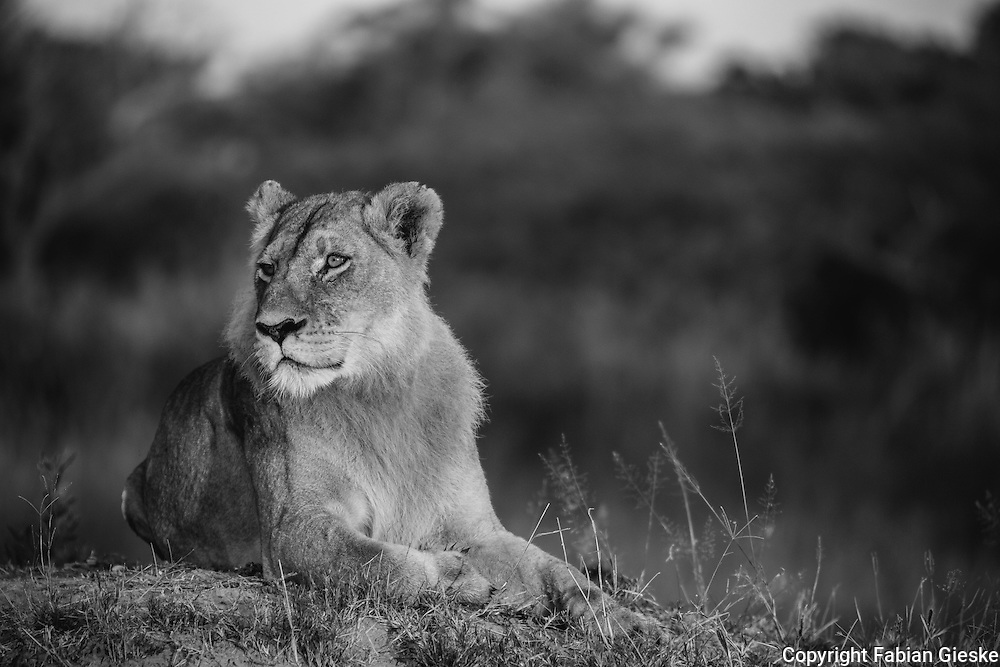 maned, lioness, Moremi Game Reserve, Botswana, monochrome
