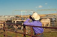 Crow Fair, Indian rodeo, Bull Rider, Brandon Paris looks over bulls before ride, Montana