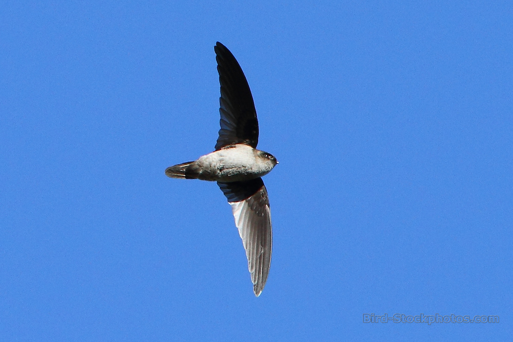 Mountain Swiftlet, Aerodramus hirundinaceus, flying, Papua New Guinea, by Markus Lilje