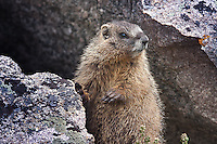 Yellow-bellied Marmot (Manota falaviventris)  Mount Evans, Colorado, USA.