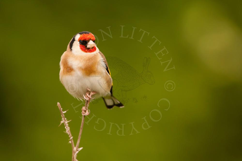 European Goldfinch (Carduelis carduelis) adult, perched on twig, spring, Norfolk, UK.