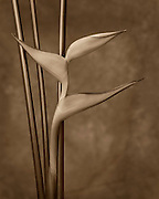 A sepia picture of the Bird of Paradise leaves and stalks. Missoula Photographer