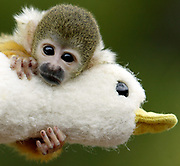 Orphaned Squirrel Monkey, Loki, clings to his toy duck at Taronga Zoo in Sydney, Australia. Loki, who lost his mother shortly after birth eight weeks ago, has been hand raised by zoo staff and wil be introduced to the rest of the Squirrel Monkey's when once he is weened and learns to regulate his body temperature.