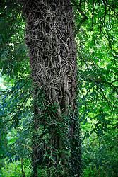 UK ENGLAND WILTSHIRE 26JUN08 - Tree trunk overgrown with roots near the river Kennet near Avesbury in rural Wiltshire, western England...jre/Photo by Jiri Rezac / WWF UK..© Jiri Rezac 2008..Contact: +44 (0) 7050 110 417.Mobile:  +44 (0) 7801 337 683.Office:  +44 (0) 20 8968 9635..Email:   jiri@jirirezac.com.Web:     www.jirirezac.com..© All images Jiri Rezac 2008 - All rights reserved.