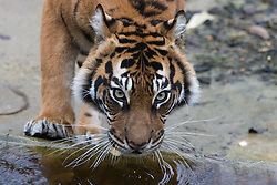 ZSL London Zoo, London, December 15th 2016. Christmas comes ten days early for the Sumatran tiger cubs at at ZSL London Zoo. Mother Melati and her two cubs Achilles and Karis wake up to Christmas presents in their enclosure and the two unruly six-month-old cubs set about opening them. PICTURED: Melati drinks as her cubs play with their presents.