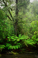 Australia, Tasmania, Tarkine, temperate rain forest and fern tree