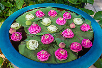 floating lotus flowers in garden Bangkok Thailand
